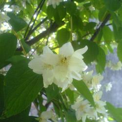 Чубушник садовый цветы