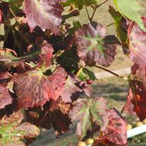 Выращивание винограда декоративного