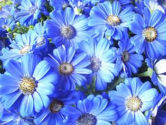 Цинерария цветы гибридная