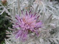 Цинерария цветок