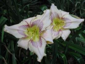 Лилейник, красоднев цветущий