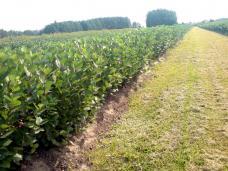 Выращивание сеянцев рябины