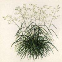Картинка овсяницы луговой