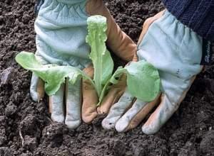 Высадка рассады салата в грунт