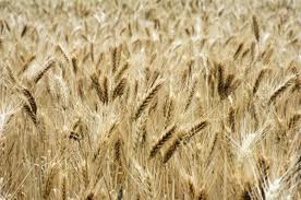 Особенности озимой пшеницы