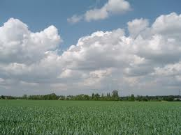 Лучшие предшественники для пшеницы