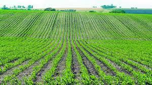 Посевы озимой пшеницы
