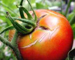 Трескаются помидоры