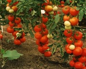 Сорта кистевых помидоров