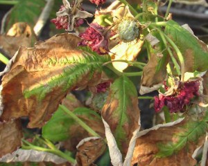 У малины сохнут листья