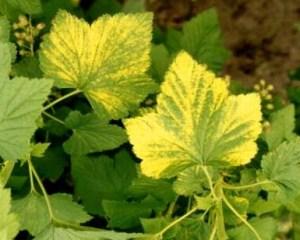 Желтеют листья у смородины