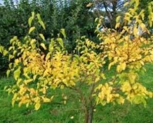 Желтеют листья у абрикоса