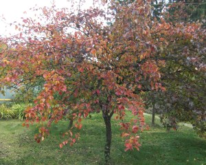 Краснеют листья на груше