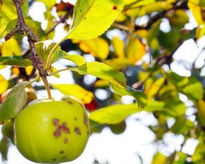 Желтеют листья у яблони