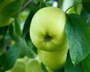 Сорта кислых яблок