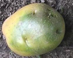 Зеленеет картофель