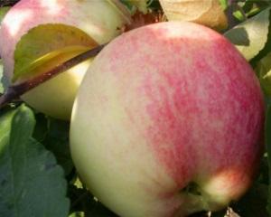 Сорт яблок Бельфлер