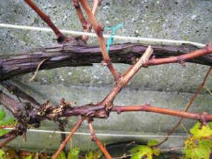 Уход за виноградом и обрезка