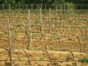Выращивание саженцев винограда