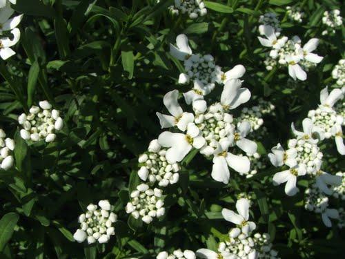 Алиссиум цветок