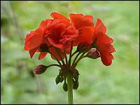 Пеларгония или герань, цветение