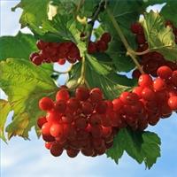 Калина обыкновенная, ягоды