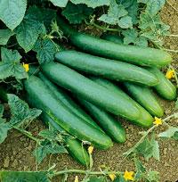 Огурцы, выращивание