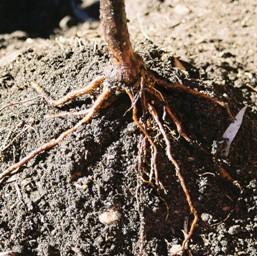 Подбор почвы для посадки роз