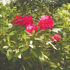 родендрон цветущий