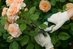 Дикие розы
