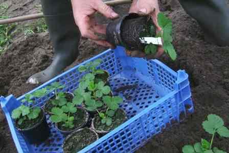 Выращивание рассады земляники