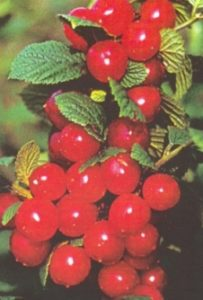 Фото войлочной вишни