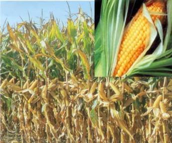 Биологические особенности кукурузы