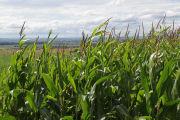 Выбор участка и предшественников для кукурузы