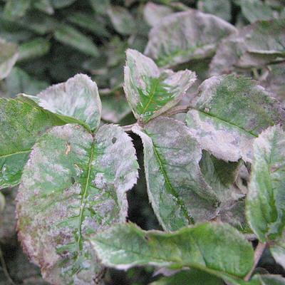 Листья, пораженные мучнистой росой
