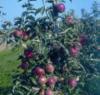 Рост яблони фото