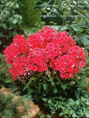 Цветки флокса красного