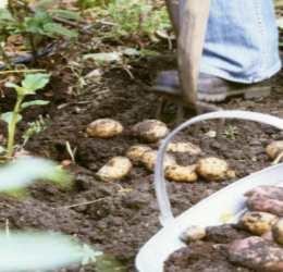 Выкапывание картофеля вилами