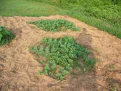 На каком расстоянии растут арбузы фото