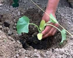 Высадка рассады дынь в грунт