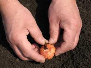Техника посадки лука севка