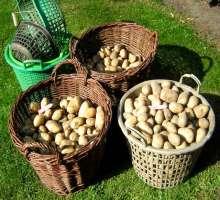 Как выглядит сорт картофеля Невский