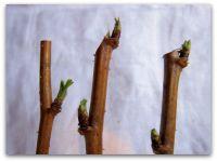 Разведение малины зеленым черенокованием