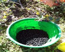 Как собирают черноплодную рябину