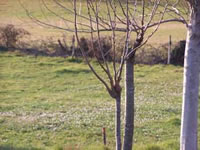 Дерево обрезанное на шип