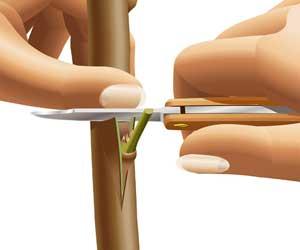 Прививка черенка в разрез за кору