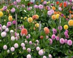Как выращивать георгины