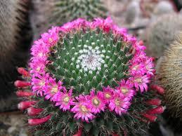 Маммилярия цветение