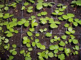 Выращивание рассады земляники из семян