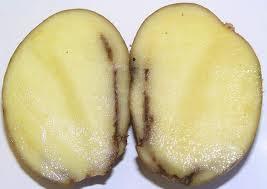 Кольцевая гниль на клубне картофеля